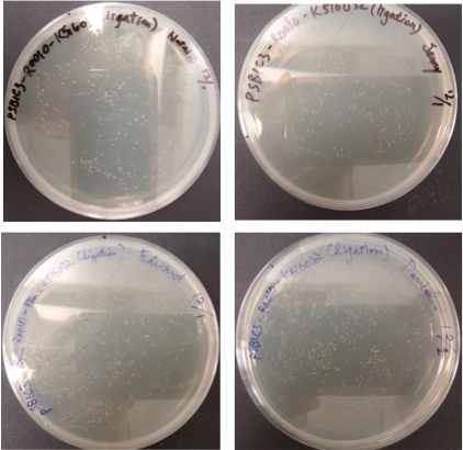 File:Plates of pSB1C3-BBa R0010-Bba K516032 candidates colonies after 24 hours incubation.png