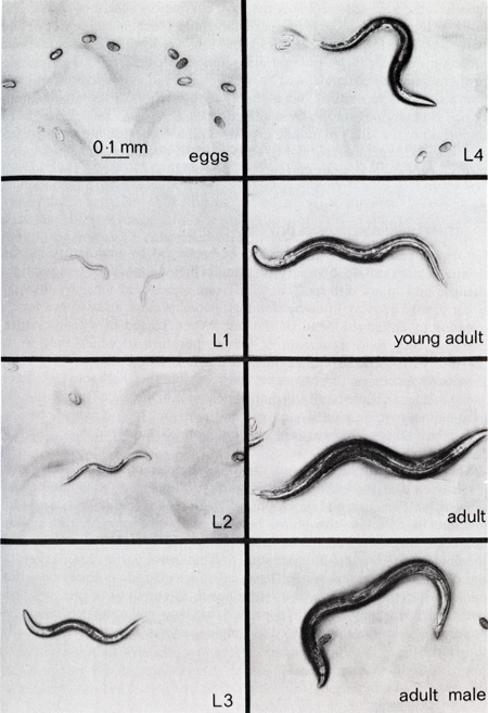 C. elegans life stages.png