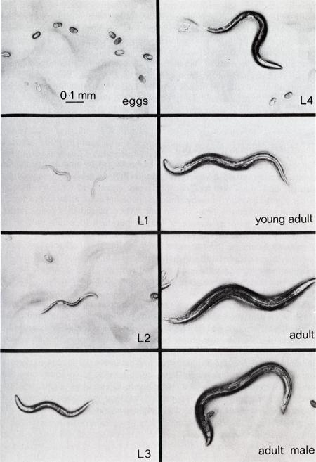 C. elegans life stages.png