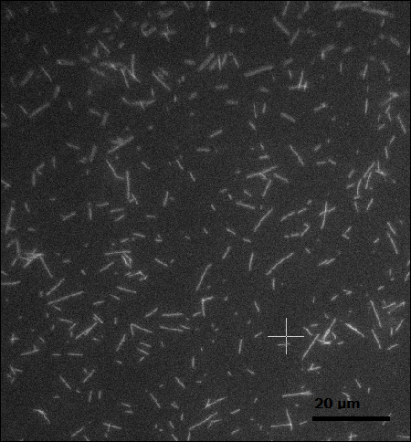 File:Columbia biomod microtubule flow nonalignment.png