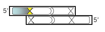 File:Macintosh HD-Users-nkuldell-Desktop-oligo v2.png