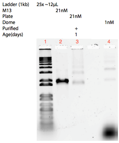 Fig. 19. 1% Agarose gel containing self-assembly reactions of the dome and plate. Both were performed in a 12.5mM MgCl2 buffer over a 17-hour non-linear ramp. 1) 1kb ladder, 2) M13 control, 3) Purified 21nM plate, 4) Unpurified 1nM dome. It is seen in the gel that purification with the Amicon Spin Filter was successful in removing the excess staples but induced aggregations.
