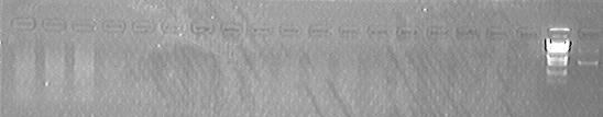 File:PKU Switch 07-7-15 PLX007 single digestion test.jpg