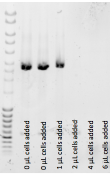 File:150324 autoinduction media inhibits colony PCR.png