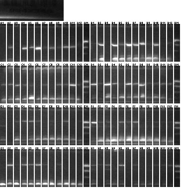 File:8-20 Colony PCR 2 MXHTA .png