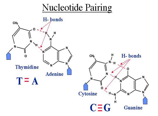 File:BME100 NucleotidePairing.PNG