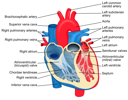 Image:Blood flow through the heart S11.png