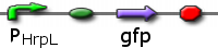 File:ICGEMS dvc PHrpL gfp.png