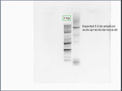 File:IGEM 2012-04-13 14hr 54min PCR of purified ligation.jpg