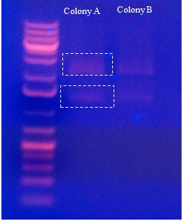 White dashed lines border show the vector backbone and the BD-111 constructed gene(RBS + PcTF).