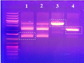 White dashed lines border where the gel was cut to excise (1 & 2)insert fragment of PcTF-RBS cut with (X/P)), (3) vector fragment (BBa_I712074, T7 strong promoter  with plasmid backbone: pSB1AK8)and (4)vector fragment (BBa_I719005, T7 promoter  with plasmid backbone: pSB1A2)- vector fragments (3 & 4)cut with (S/P).