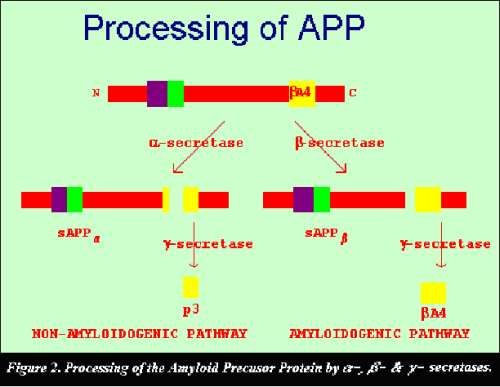 Processing of the APP Protein