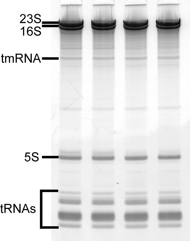 SDM RNA1.jpg