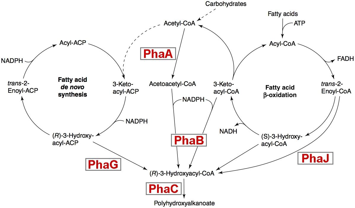 PHA pathwaysBig.jpg