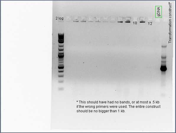 Pflegerlab 2012-06-04 15hr 47min colony PCR of 2nd gen acsA;;BC.jpg