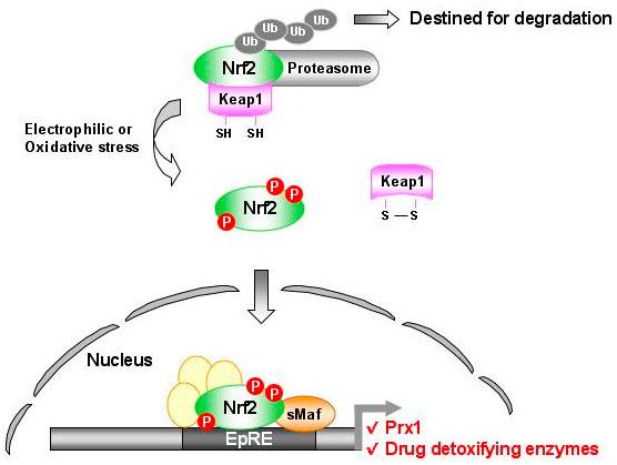 """Nrf2-Prx1 Pathway from Kim et al."""