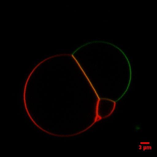 File:BM12 nanosaurs Kissing vesicles (guvs)2.lsm (RGB)SB.jpg
