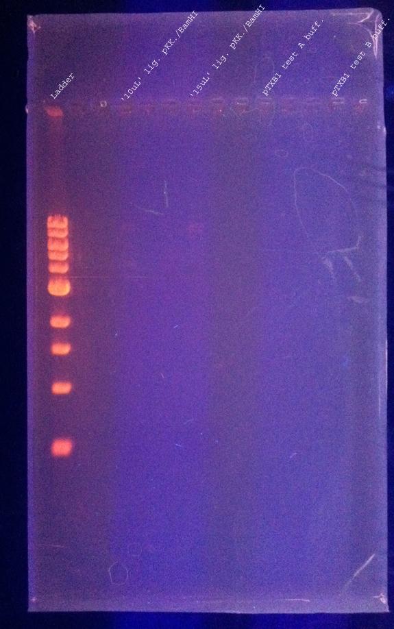 DNAgel 8.12.2011 labeled.jpg