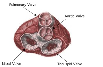 This is an image of an anatomical heart showing specifically the four valves. Reference 2