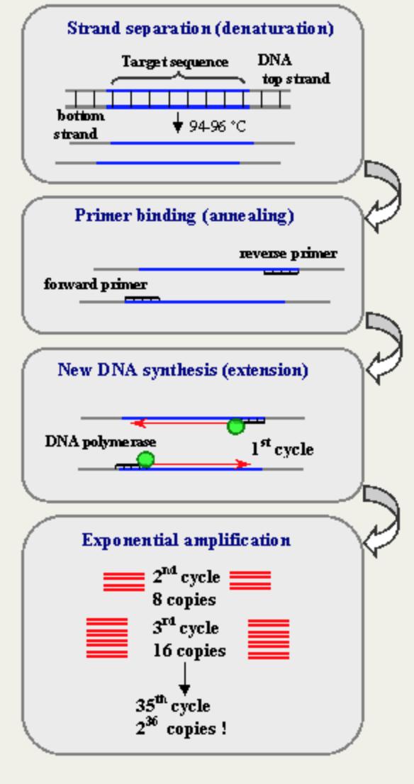 PCRreaction.jpg