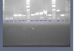 Genomic dna pcr 2.jpg