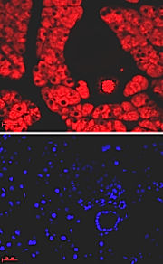 Mouse pancreas tissue; Red: Amylase in zymogengranules of acinar cells, and secreted amylase in ducts, Blue: DAPI (nuclear)