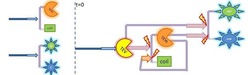 File:2-step amplification.JPG