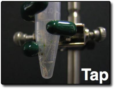AM Tobacco Seeds-Tap in Tube.jpg