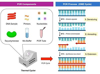 The base components that make up PCR and the process that occurs during the first cycle.
