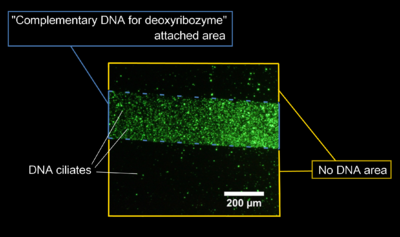 Figure 4. Fluorescent image of DNA ciliate gathering at the specific area by fluorescent microscopy.