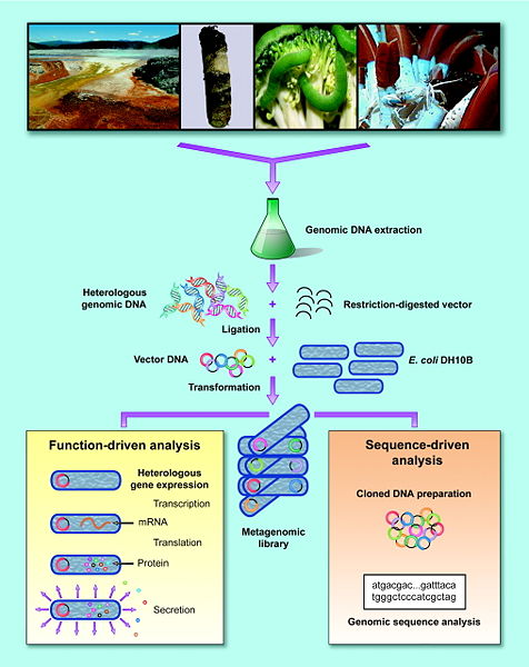 Image:CH391L S13 Construction & Screening of Metagenomic Library.jpg