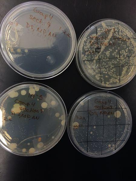 File:Colony morphology 1.jpg