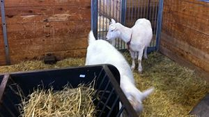 Spider goats, Sugar and Spice, at the Canada Agricultural Museum