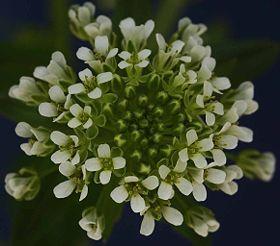 Thlaspi arvense Blüte1 crop compressed.jpg
