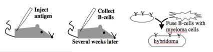 generating monoclonal antibodies