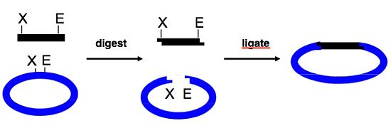 "Cloning overview: traditional approach. An insert, such as a PCR product, and a backbone, such as a commercially available vector, are depicted in black and blue, respectively. These are digested with the same restriction enzymes (dubbed ""X"" and ""E"") so as to have complementary overhangs, and then usually gel-purified. Finally, backbone and insert are joined together to create a new vector using DNA ligase. Note: Figure modified from Prof. Bevin Engelward."