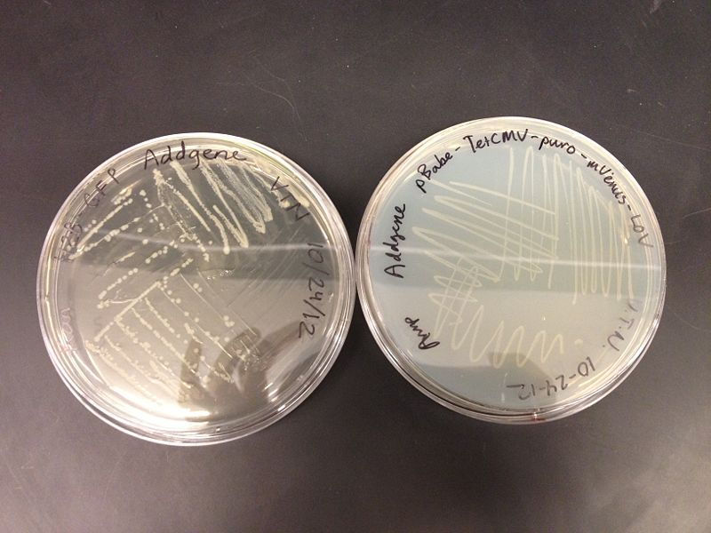 Image:Plate Cultures.JPG