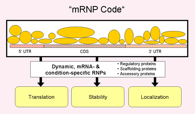 "Different proteins assemble on a given message to form an mRNP, the composition of which changes dynamically, depending on the cellular context. The combinatorial control of associated regulatory, scaffolding and accessory proteins ultimately determines the mRNA fate (""mRNP code"")."
