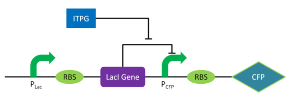 Circuit Diagram for Sweet Cyan SwitchPLac represents the LacI promoter and PCFP represents the CFP promoter