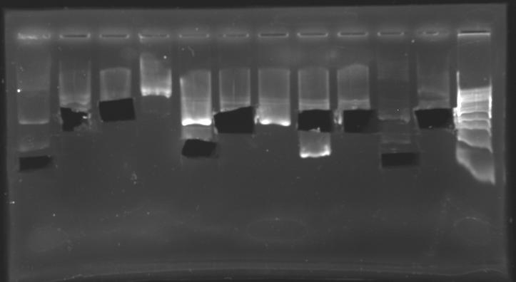 File:Extractionafter biobricks 150710.jpg