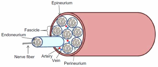 Diagram of the type of PNS nerve bundle that grafting and suturing are used on [9]