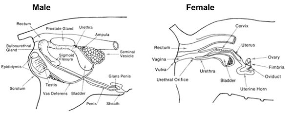 Fetal Pig Male Reproductive System Diagram
