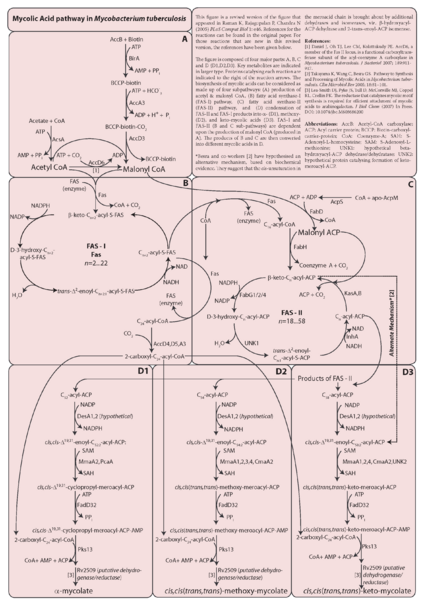File:Chandra-MycolicAcidPathway.png