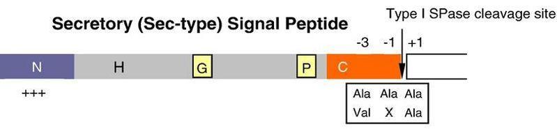 File:Signalpeptide.JPG