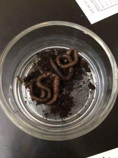 Earthwormpicc.jpg