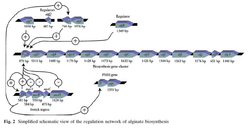 File:Alg biosynth1.jpg