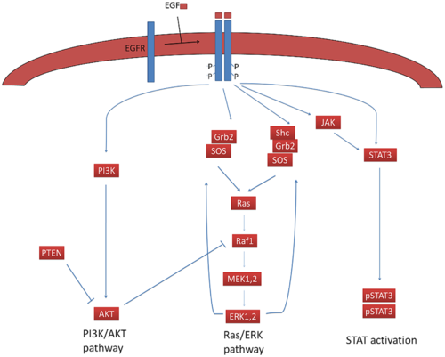 Figure 2:  The first figure from Bidkhori et al. graphically illustrating the signaling cascades used in their modeling scheme. Bidkhori G, Moeini A, Madoudi-Nejad A (2012) Modeling of Tumor Progression in NSCLC and Intrinsic Resistance to TKI in Loss of PTEN Expression. PLoS ONE 7(10)
