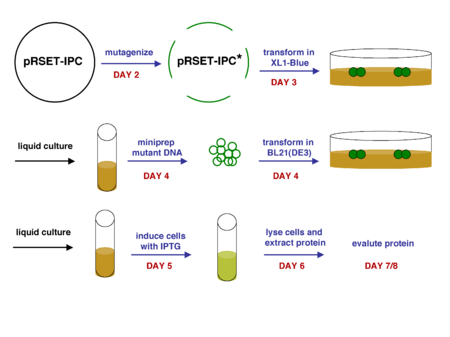 Production of mutant IPC protein. The mutant DNA and protein are indicated by a green colour. Blue arrows/text indicate steps performed during class time; black arrows indicate steps performed by the teaching staff.