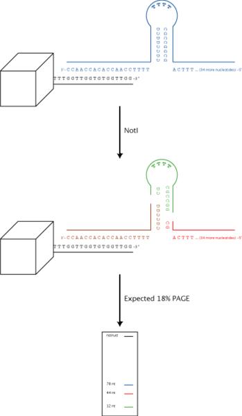 File:Igem harv06 nanorestrict.png
