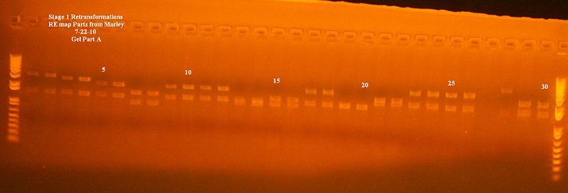 File:Stage 1 retransformations gel part A.jpg